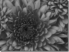 Chrysanthemum-1