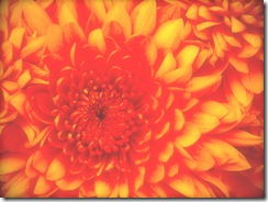 Chrysanthemum-3